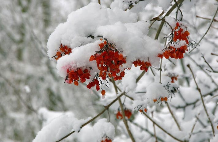 Berries Under The Snow