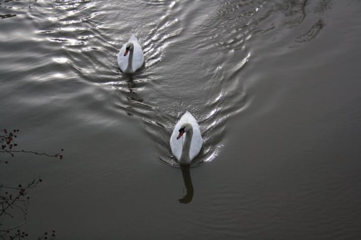 Oxford Swans by Mark Brus
